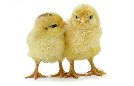 Adopt a Vegan or Vegetarian Diet Baby Chicks