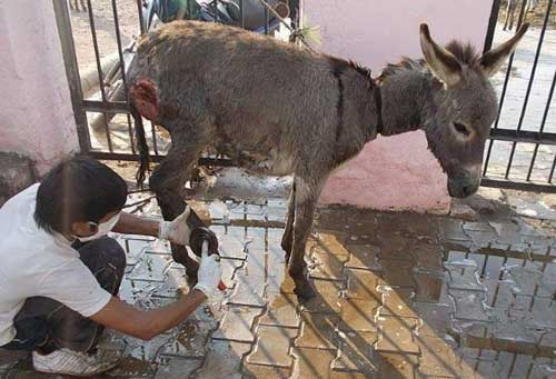 Declutter Your Home and Help Animals Working Donkey Being Treated