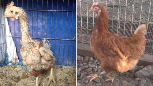 Ex-Battery Hens Without Feathers Wear Sweaters To Keep Warm