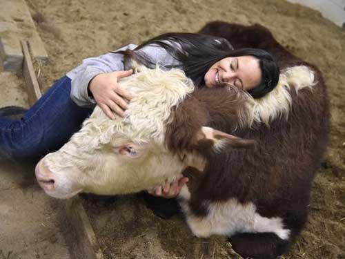 Cuddling A Cow