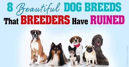 Bad Breeder The Health Of Many Dog Breeds Has Been Ruined