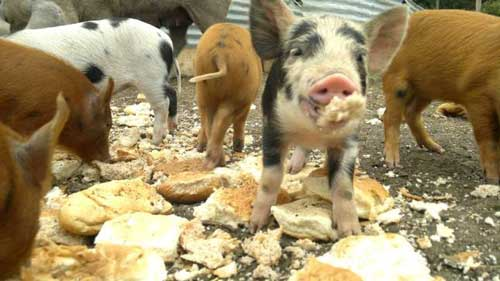 Tower Hill Stables Piglets