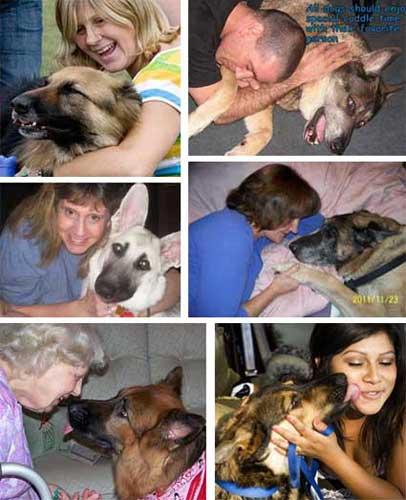 Adopted Affectionate Gentle German Shepherd Enjoying Cuddles
