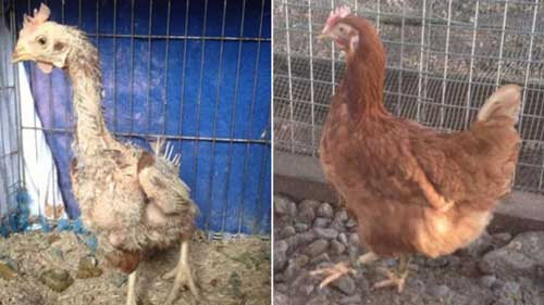 Why To Adopt A Rescue Pet Adopted Ex-Battery Hen Before And After