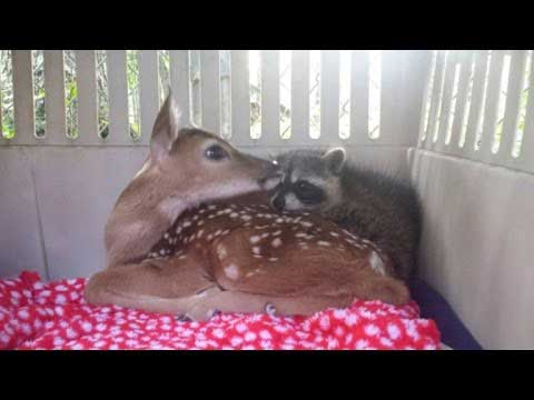 Why To Adopt A Rescue Pet An Orphaned Fawn And Raccoon
