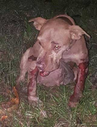 This Poor Thing Was Forced Into Dog Fighting